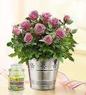 1800 Flowers - Free Candle with Summer Garden Rose Plant