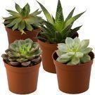 Rocker B Plant Farms Succulent Plant 4-Pack